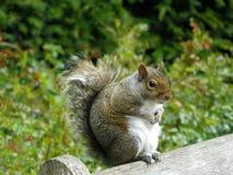 Серая белка сидя на верхней части деревянной скамьи Стоковое Фото