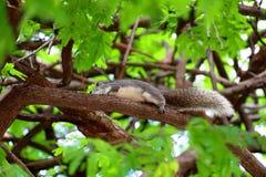 Серая белка с длинным хвостом бежит на ветви дерева стоковые изображения rf