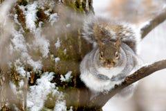 Серая белка в дереве Стоковая Фотография