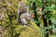 Серая белка в дереве Стоковые Фотографии RF