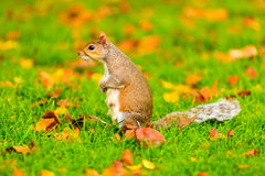 Серая белка в парке осени Стоковое Фото