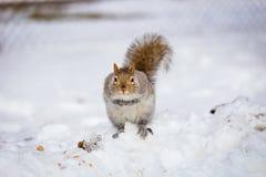 Серая белка в снеге, Lachine, Монреаль, Квебек, Канада Стоковое Изображение RF