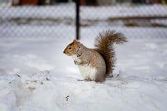 Серая белка в снеге, Lachine, Монреаль, Квебек, Канада Стоковая Фотография