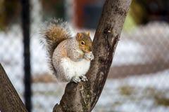 Серая белка в снеге, Lachine, Монреаль, Квебек, Канада Стоковые Изображения RF