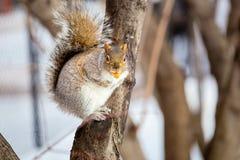 Серая белка в снеге, Lachine, Монреаль, Квебек, Канада Стоковое фото RF