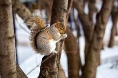 Серая белка в снеге, Lachine, Монреаль, Квебек, Канада Стоковые Изображения