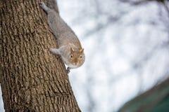 Серая белка в снеге, Lachine, Монреаль, Квебек, Канада Стоковые Фото