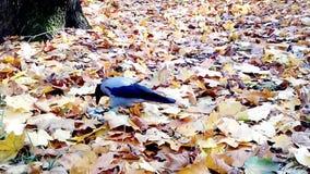Серая ворона на желтых листьях видеоматериал