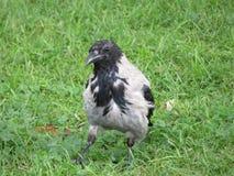 Серая ворона на траве Стоковые Изображения