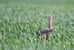 Серая гусына в длинней траве Стоковое Изображение
