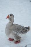 Серая гусыня в зиме Стоковые Изображения RF