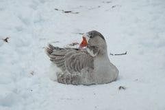 Серая гусыня в снеге Стоковая Фотография