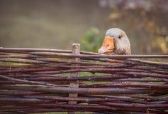 Серая гусыня за загородкой Стоковая Фотография RF