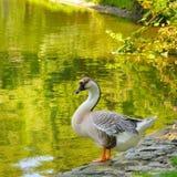 Серая гусыня на озере Стоковые Изображения