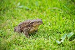 Серая жаба Взгляд правильной позиции Стоковые Фото