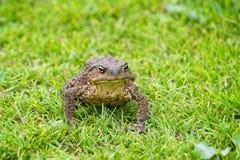 Серая жаба Стоковое фото RF
