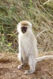 Серая зеленая обезьяна vervet Стоковое Изображение
