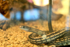 Серая змейка Стоковое Изображение RF