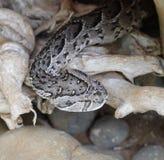 Серая змейка Стоковая Фотография
