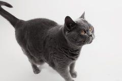 Серая игра кота британцев Shorthair Стоковые Фото