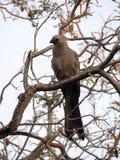 Серая идти-прочь-птица, concolor Corythaixoides, справедливо общая, Ботсвана Стоковые Изображения RF