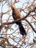 Серая идти-прочь-птица, concolor Corythaixoides, справедливо общая, Ботсвана Стоковое Изображение