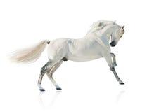 Серая изолированная лошадь akhal-teke Стоковые Изображения
