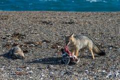 Серая лиса есть пингвина на пляже Стоковое Изображение