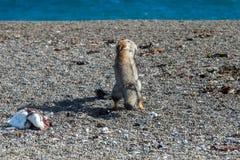 Серая лиса есть пингвина на пляже Стоковая Фотография