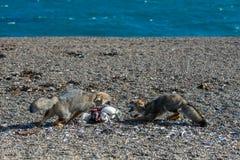 Серая лиса есть пингвина на пляже Стоковая Фотография RF