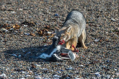 Серая лиса есть пингвина на пляже Стоковое фото RF