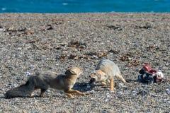 Серая лиса есть пингвина на пляже Стоковые Фотографии RF