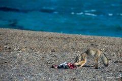 Серая лиса есть пингвина на пляже Стоковые Изображения