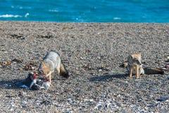 Серая лиса есть пингвина на пляже Стоковые Изображения RF