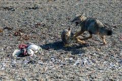 Серая лиса есть пингвина на пляже Стоковые Фото