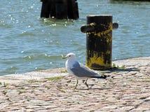 Серая и белая чайка идя на пристань стоковые фотографии rf