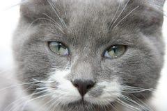 серая киска Стоковая Фотография RF