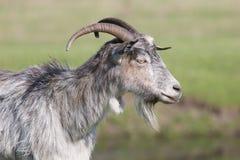 Серая коза стоя в профиле Стоковое Изображение RF