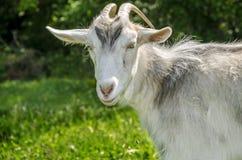 Серая коза с рожками стоковая фотография rf