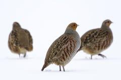 Серая куропатка серой куропатки куропатки - птицы на белом снеге в зиме Стоковая Фотография