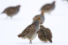 Серая куропатка серой куропатки куропатки - птицы на белом снеге в зиме Стоковые Изображения