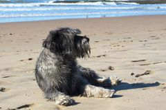 Серая лежа собака на песчаном пляже берега моря 2 Стоковые Изображения RF