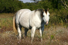серая лошадь Стоковые Изображения