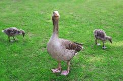 Серая мать гусыни с молодыми гусятами Стоковые Фотографии RF
