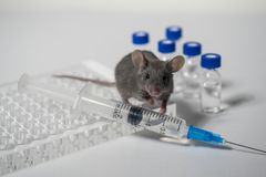 Серая мышь лаборатории с иммунологической плитой, шприцем и пробирками Концепция - испытание лекарств, вакцин стоковая фотография