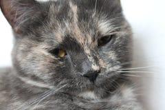 Серая домашняя кошка Стоковые Фото