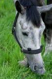 Серая лошадь есть траву Стоковое Изображение