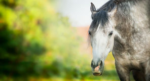 Серая лошадь на предпосылке природы лета, знамени Стоковые Фотографии RF