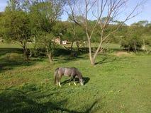 Серая лошадь пася траву стоковая фотография rf