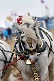 Серая лошадь плуга стоковые фотографии rf
